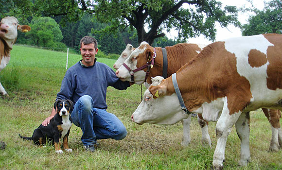 Swissydog Welpen mit Kühe