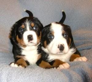 So niedlich die kleinen Puppies sind, trotzdem sind es Hunde. Unsere Welpen Käufer bekommen Anleitungen und Unterstützung bei der Aufzucht des Siwssydogs.
