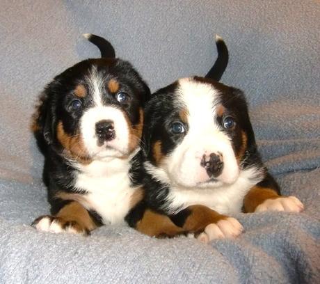 zwei kleine Swissdog puppies