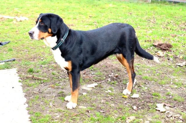 Gundi von den Gänsewiesen stammt aus der Verpaarung:  Grosser Schweizer  x Berner Sennenhund