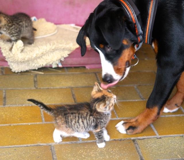 Swissy Dog mit Katze