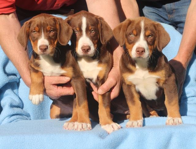 Havannabrauner Sennenhund dreifarbig